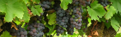 Mencia grape