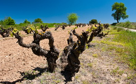 Old tempranillo vine